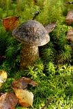 Pieczarkowy Leccinum variicolor Zdjęcia Royalty Free