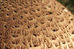 Pieczarkowy Parasol, Macrolepiota procera/ Obrazy Royalty Free