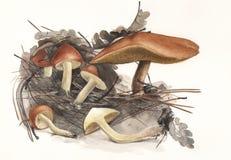 Pieczarkowy Suillus granulatus Obrazy Stock