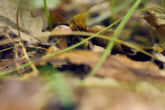 Pieczarkowy svinushki gęsty w jesieni gras Zdjęcie Stock