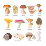 Pieczarkowy wektorowy naturalny grzyba i grzybobranie żywności organicznej ilustracyjny ustawiający jadalny szampinion odizolowyw ilustracja wektor