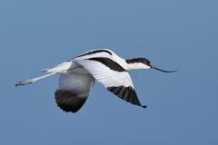Pied летание Avocet над водой Стоковые Фотографии RF