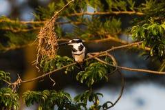 Pied усаживание птицы Kingfisher Стоковое фото RF