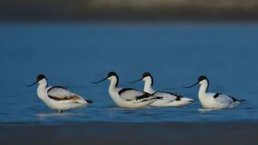 Free Pied Avocet Royalty Free Stock Photo - 181377785