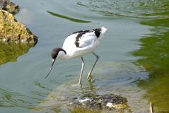 Pied Avocet. Fishing in pool Stock Images