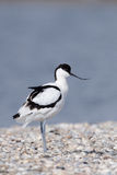 Pied avocet Stock Photo