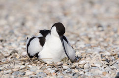 Pied avocet Stock Photography