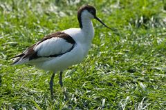 Pied Avocet. With long upturned bill, living nearby watersides Royalty Free Stock Image