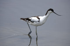 Pied avocet Royalty Free Stock Photos