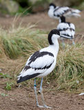 Pied Avocet Bird Royalty Free Stock Photography