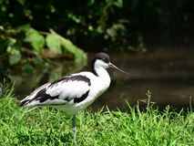 Pied avocet bird Stock Photos