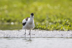 Pied Avocet chick Royalty Free Stock Photos