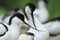 Pied avocet. The detail of pied avocets Stock Photo