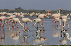 Pied avocet and flamingo Stock Photos