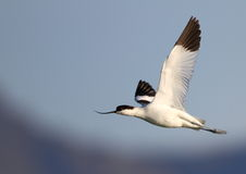 Pied Avocet in flight Royalty Free Stock Photos