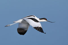 Pied Avocet flying over water Royalty Free Stock Photos