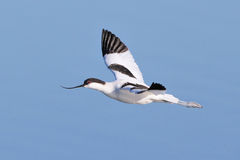 Pied Avocet flying over water Stock Images
