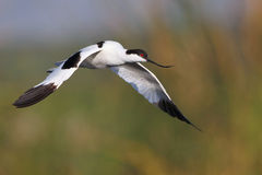 Pied Avocet flying over water Royalty Free Stock Photo