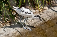 Pied Avocet foraging for food Stock Images