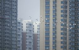 Pied Avocet. A group of Pied Avocet are flying in front of modern buildings. Scientific name: Recurvirostra avosetta Royalty Free Stock Photos