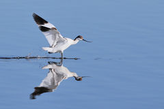 Pied Avocet landing in water Stock Photos