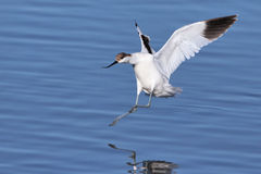 Pied Avocet landing in water Stock Photo