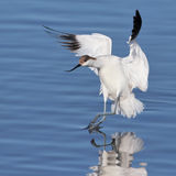 Pied Avocet landing in water Royalty Free Stock Images