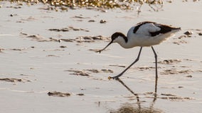Pied Avocet Royalty Free Stock Images