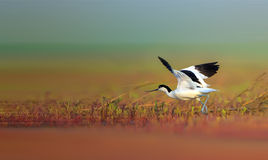 Pied Avocet Royalty Free Stock Image