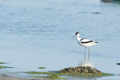 Pied Avocet in mudflat Royalty Free Stock Photos