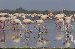 Pied avocet och flamingo Arkivfoton