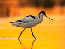 Pied avocet with orange background Royalty Free Stock Photography