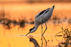 Pied avocet picking up food from water Stock Photography