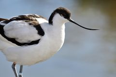 Pied avocet. Portrait of pied avocet standing by the waters edge Royalty Free Stock Image