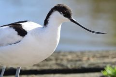 Pied avocet. Portrait of pied avocet standing by the waters edge Stock Images