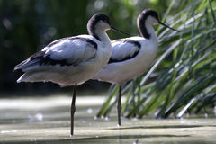 Pied Avocet (Recurvirostra avosetta). The Pied Avocet, Recurvirostra avosetta, is a large black and white wader in the avocet and stilt family, Recurvirostridae stock photography