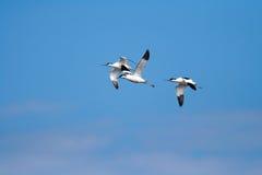 Pied Avocet (Recurvirostra avosetta). Several Pied Avocet (Recurvirostra avosetta) in flight Stock Photography