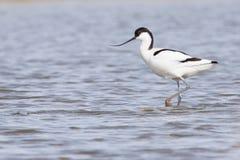 Pied avocet ( Recurvirostra avosetta ) Stock Images