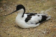 Pied avocet (Recurvirostra avosetta). Stock Image