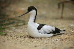 Pied avocet (Recurvirostra avosetta). Royalty Free Stock Image