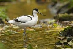 Pied Avocet - Recurvirostra avosetta stock images