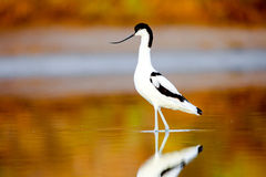 Pied Avocet, Recurvirostra avosetta Stock Photography