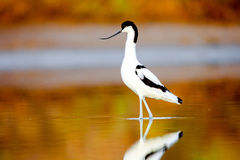 Pied Avocet, Recurvirostra avosetta Royalty Free Stock Photo
