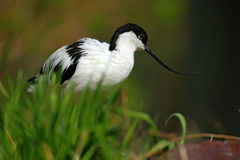 Pied Avocet, Recurvirostra avosetta, black and white in the green grass, bird in the nature habitat, France Royalty Free Stock Photo