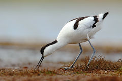 Pied Avocet, Recurvirostra avosetta, black and white in the green grass, drinking water, bird in the nature habitat, Hungary Stock Image