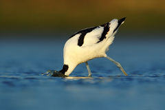 Pied Avocet, Recurvirostra avosetta, black and white in the green grass, France Stock Photo