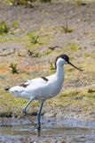 Pied Avocet Recurvirostra avosetta Black and White Wader Bird. Wildlife stock image