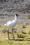 Pied Avocet Recurvirostra avosetta Black and White Wader Bird. Wildlife stock photography