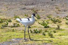 Pied Avocet Recurvirostra avosetta Black and White Wader Bird. Wildlife royalty free stock photo