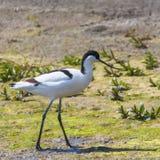 Pied Avocet Recurvirostra avosetta Black and White Wader Bird. Wildlife royalty free stock image